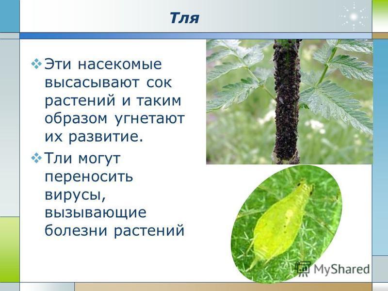Тля Эти насекомые высасывают сок растений и таким образом угнетают их развитие. Тли могут переносить вирусы, вызывающие болезни растений