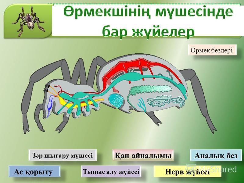 Зәр шығару мүшесі Қан айналымы Аналық без Нерв жүйесі Тыныс алу жүйесі Ас қорыту Өрмек бездері