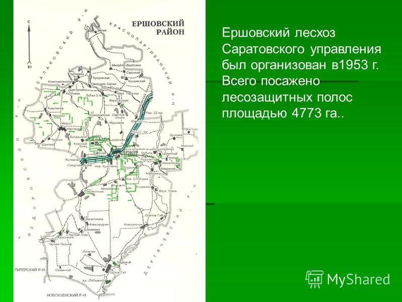 Ершовский лесхоз Саратовского управления был организован в 1953 г. Всего посажено лесозащитных полос площадью 4773 га..