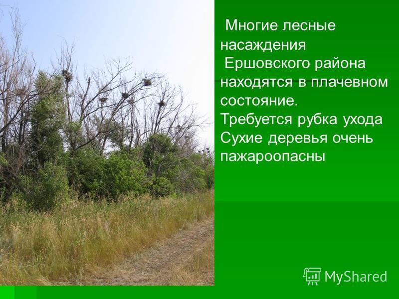 Многие лесные насаждения Ершовского района находятся в плачевном состояние. Требуется рубка ухода Сухие деревья очень пожароопасный