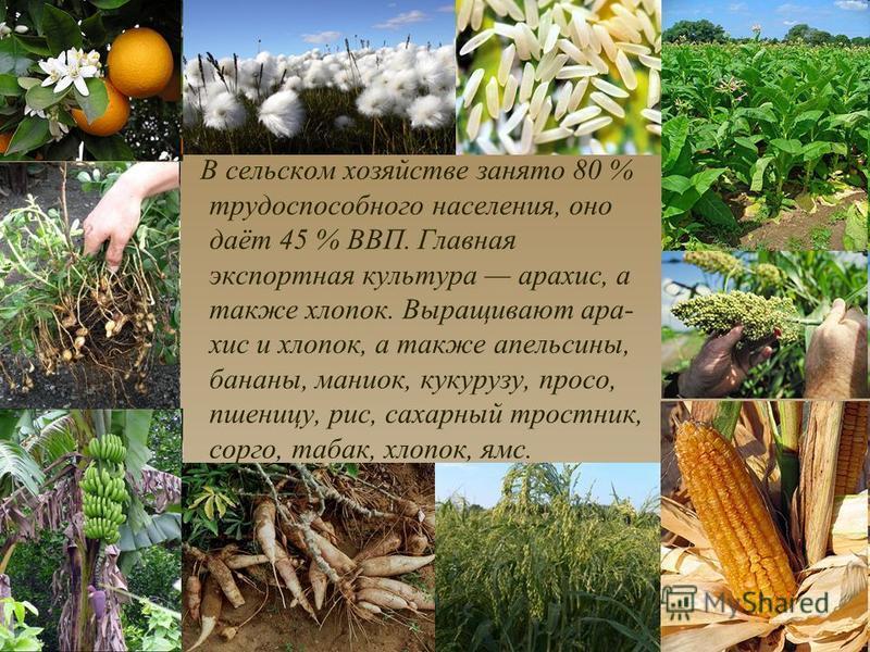 В сельском хозяйстве занято 80 % трудоспособного населения, оно даёт 45 % ВВП. Главная экспортная культура арахис, а также хлопок. Выращивают арахис и хлопок, а также апельсины, бананы, маниок, кукурузу, просо, пшеницу, рис, сахарный тростник, сорго,