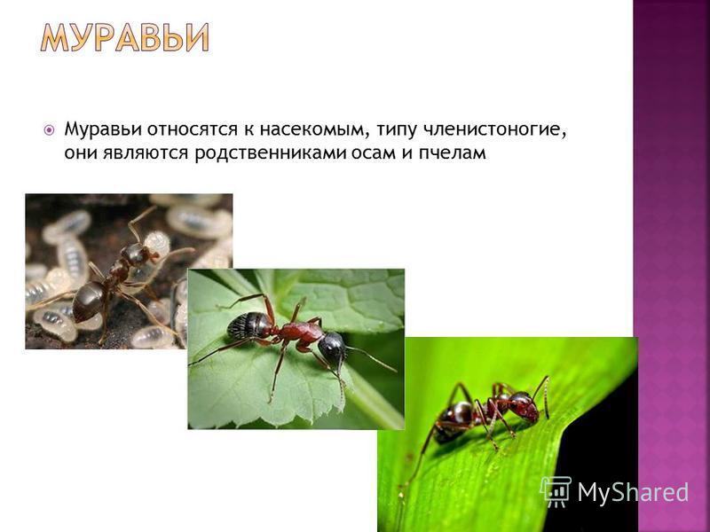 Муравьи относятся к насекомым, типу членистоногие, они являются родственниками осам и пчелам
