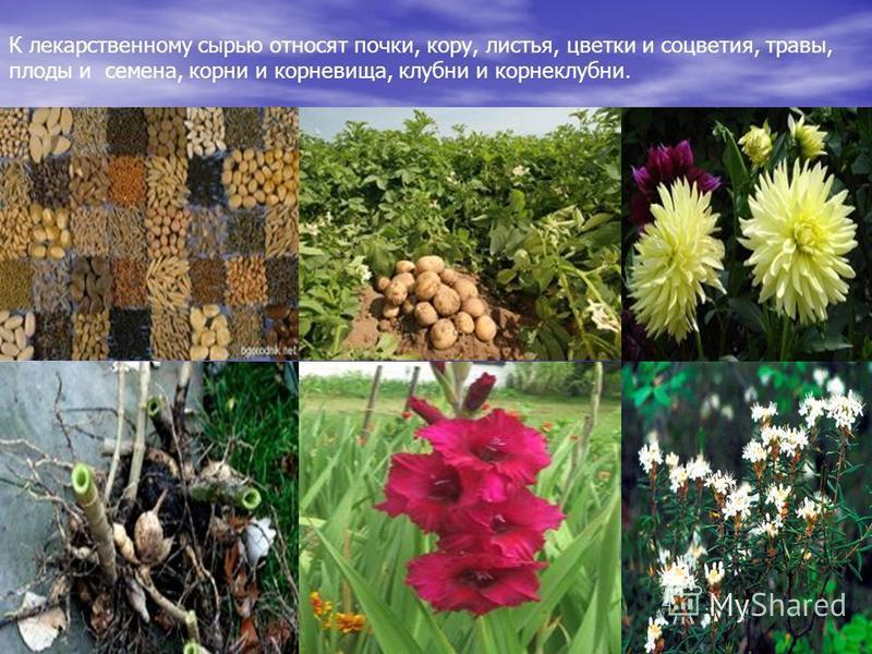К лекарственному сырью относят почки, кору, листья, цветки и соцветия, травы, плоды и семена, корни и корневища, клубни и корнеклубни.