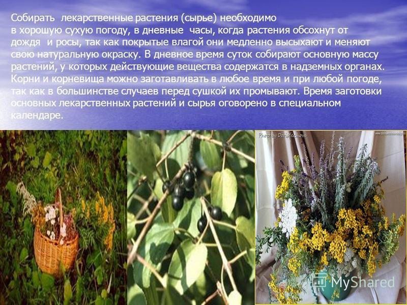 Собирать лекарственные растения (сырье) необходимо в хорошую сухую погоду, в дневные часы, когда растения обсохнут от дождя и росы, так как покрытые влагой они медленно высыхают и меняют свою натуральную окраску. В дневное время суток собирают основн