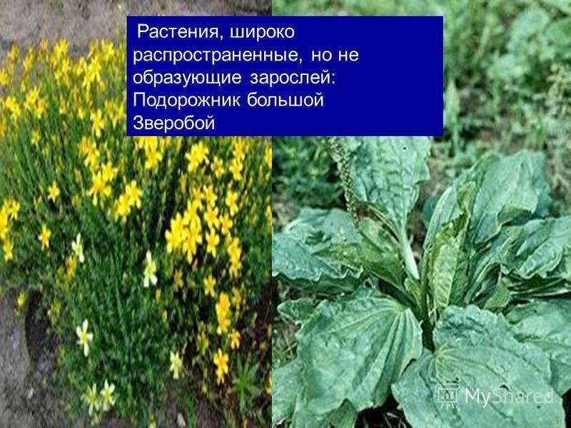 Растения, широко распространенные, но не образующие зарослей: Подорожник большой Зверобой