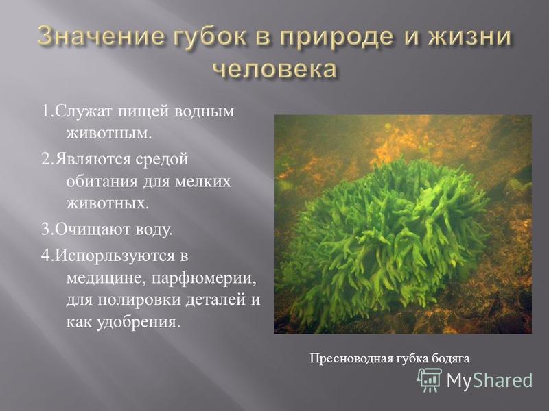 1. Служат пищей водным животным. 2. Являются средой обитания для мелких животных. 3. Очищают воду. 4. Испорльзуются в медицине, парфюмерии, для полировки деталей и как удобрения. Пресноводная губка бодяга
