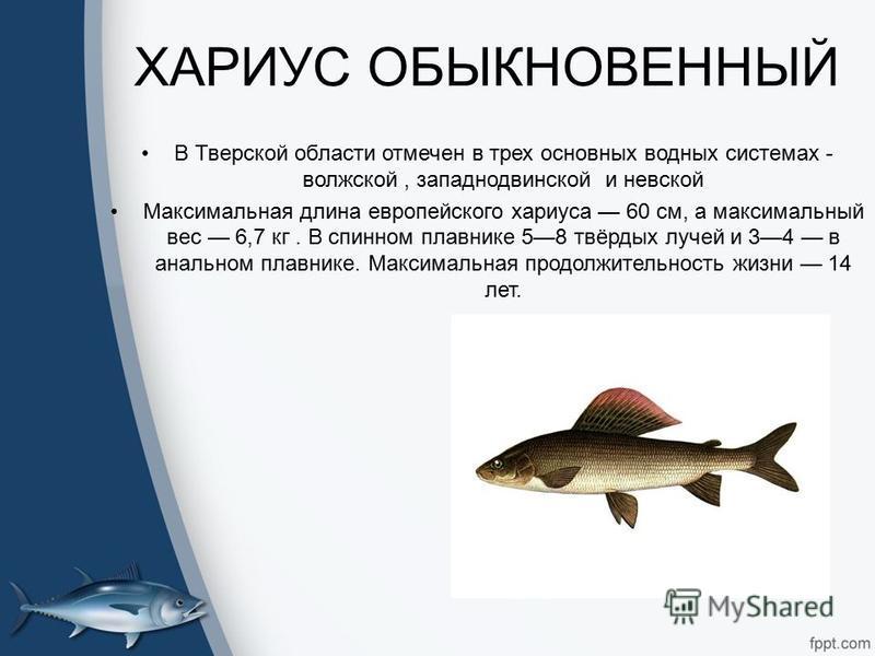 ХАРИУС ОБЫКНОВЕННЫЙ В Тверской области отмечен в трех основных водных системах - волжской, западно двинской и невской Максимальная длина европейского хариуса 60 см, а максимальный вес 6,7 кг. В спинном плавнике 58 твёрдых лучей и 34 в анальном плавни