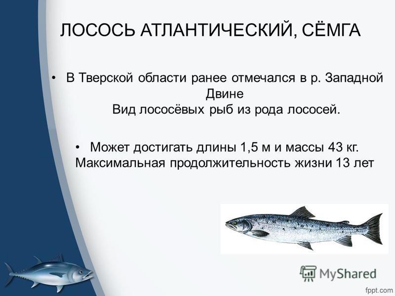 ЛОСОСЬ АТЛАНТИЧЕСКИЙ, СЁМГА В Тверской области ранее отмечался в р. Западной Двине Вид лососёвых рыб из рода лососей. Может достигать длины 1,5 м и массы 43 кг. Максимальная продолжительность жизни 13 лет