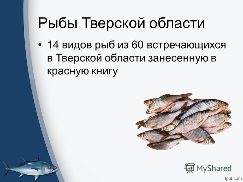 Рыбы Тверской области 14 видов рыб из 60 встречающихся в Тверской области занесенную в красную книгу