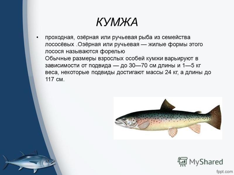 КУМЖА проходная, озёрная или ручьевая рыба из семейства лососёвых.Озёрная или ручьевая жилые формы этого лосося называются форелью Обычные размеры взрослых особей кумжи варьируют в зависимости от подвида до 3070 см длины и 15 кг веса, некоторые подви