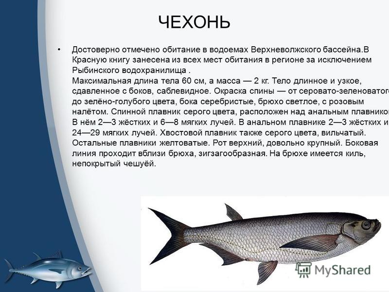 ЧЕХОНЬ Достоверно отмечено обитание в водоемах Верхневолжского бассейна.В Красную книгу занесена из всех мест обитания в регионе за исключением Рыбинского водохранилища. Максимальная длина тела 60 см, а масса 2 кг. Тело длинное и узкое, сдавленное с
