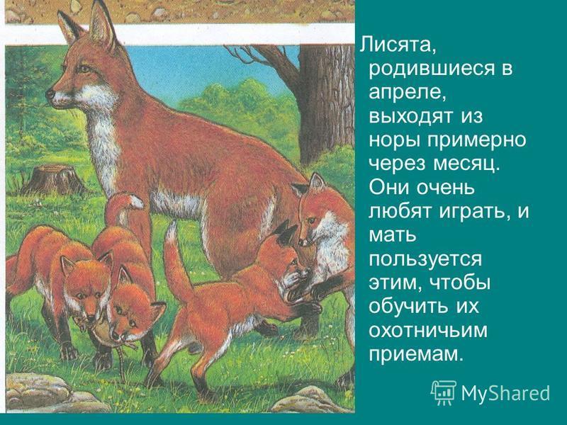 Лисята, родившиеся в апреле, выходят из норы примерно через месяц. Они очень любят играть, и мать пользуется этим, чтобы обучить их охотничьим приемам.