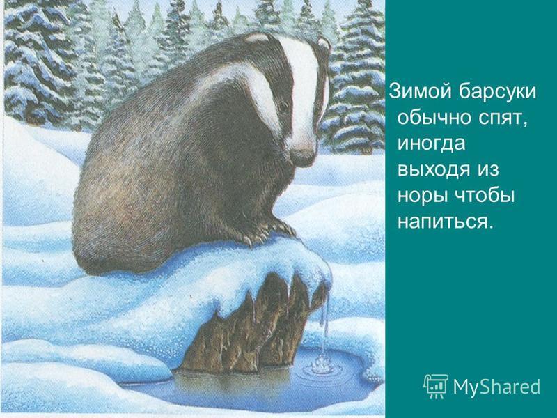 Зимой барсуки обычно спят, иногда выходя из норы чтобы напиться.