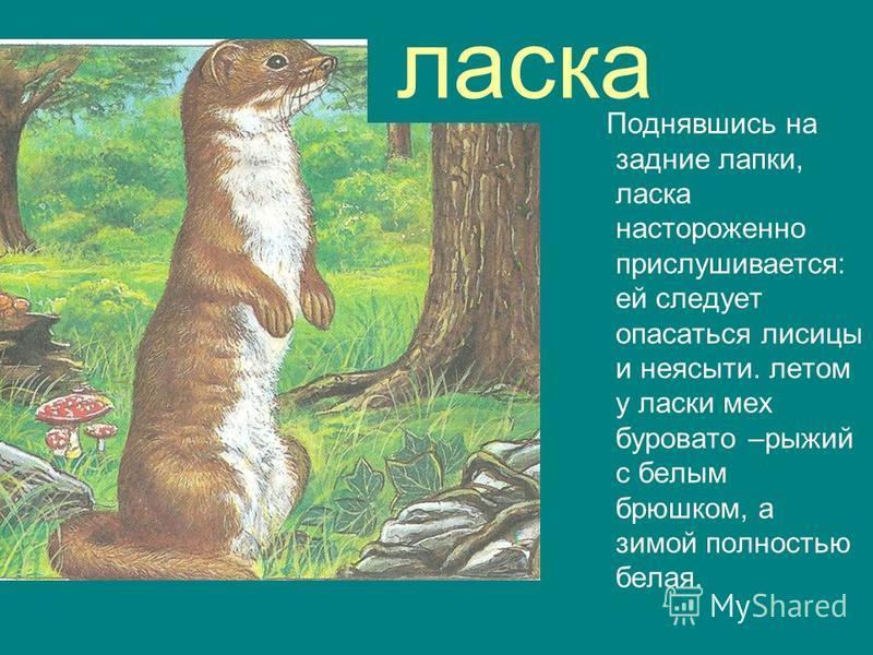 ласка Поднявшись на задние лапки, ласка настороженно прислушивается: ей следует опасаться лисицы и неясыти. летом у ласки мех буровато –рыжий с белым брюшком, а зимой полностью белая.