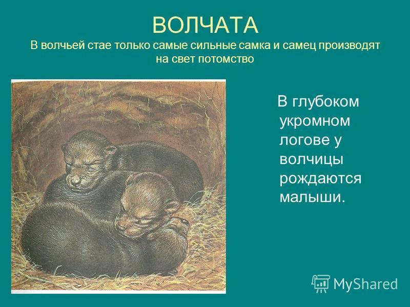 ВОЛЧАТА В волчьей стае только самые сильные самка и самец производят на свет потомство В глубоком укромном логове у волчицы рождаются малыши.