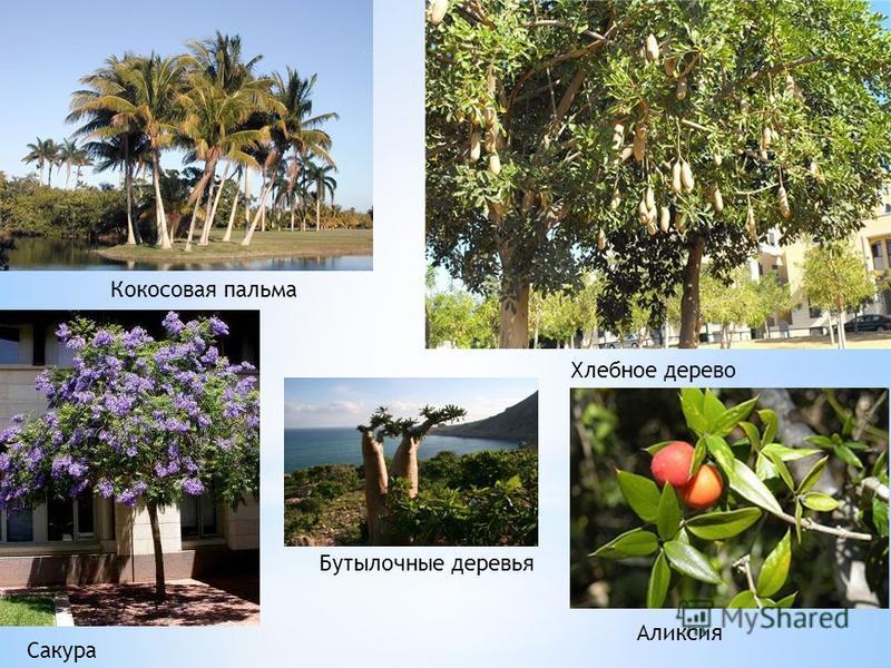 Кокосовая пальма Хлебное дерево Сакура Аликсия Бутылочные деревья