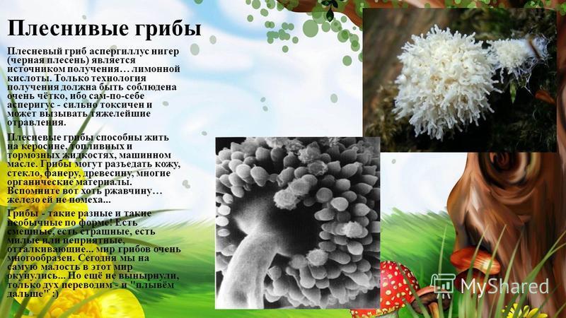 Плеснивые грибы Плесневый гриб аспергиллус нигер (черная плесень) является источником получения… лимонной кислоты. Только технология получения должна быть соблюдена очень чётко, ибо сам-по-себе асперигус - сильно токсичен и может вызывать тяжелейшие