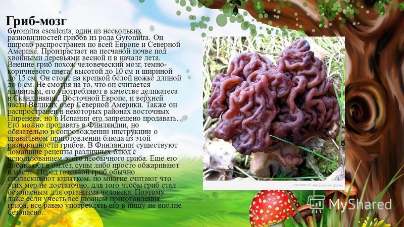 Гриб-мозг Gy romitra esculenta, один из нескольких разновидностей грибов из рода Gyromitra. Он широко распространен по всей Европе и Северной Америке. Произрастает на песчаной почве под хвойными деревьями весной и в начале лета. Внешне гриб похож чел