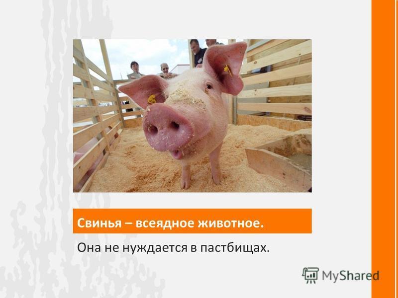 Свинья – всеядное животное. Она не нуждается в пастбищах.