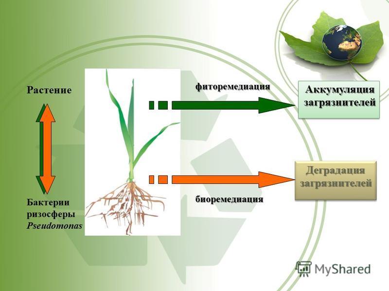 Растение фиторемедиация биоремедиация Бактерии ризосферы Pseudomonas Деградация загрязнителей Аккумуляция загрязнителей