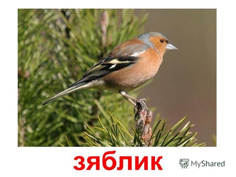 лазурная птица