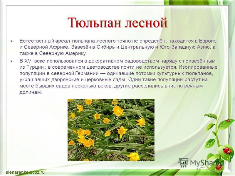 Естественный ареал тюльпана лесного точно не определён, находится в Европе и Северной Африке. Завезён в Сибирь и Центральную и Юго-Западную Азию, а также в Северную Америку. В XVI веке использовался в декоративном садоводством наряду с привезённым из