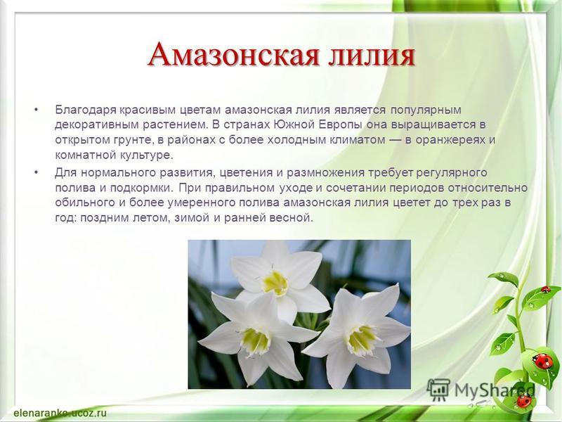Амазонская лилия Благодаря красивым цветам амазонская лилия является популярным декоративным растением. В странах Южной Европы она выращивается в открытом грунте, в районах с более холодным климатом в оранжереях и комнатной культуре. Для нормального