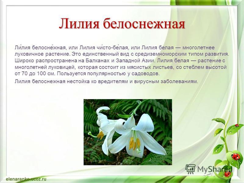 Лилия белоснеюжная Ли́лия белосне́южная, или Лилия чи́сто-бе́лая, или Лилия белая многолетнее луковичное растение. Это единственный вид с средиземноморским типом развития. Широко распространена на Балканах и Западной Азии. Лилия белая растение с мног