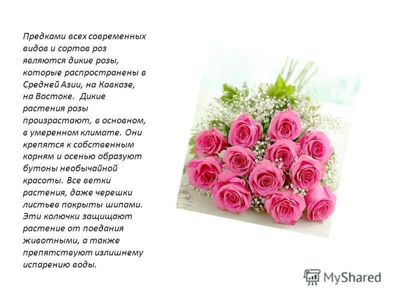 Предками всех современных видов и сортов роз являются дикие розы, которые распространены в Средней Азии, на Кавказе, на Востоке. Дикие растения розы произрастают, в основном, в умеренном климате. Они крепятся к собственным корням и осенью образуют бу