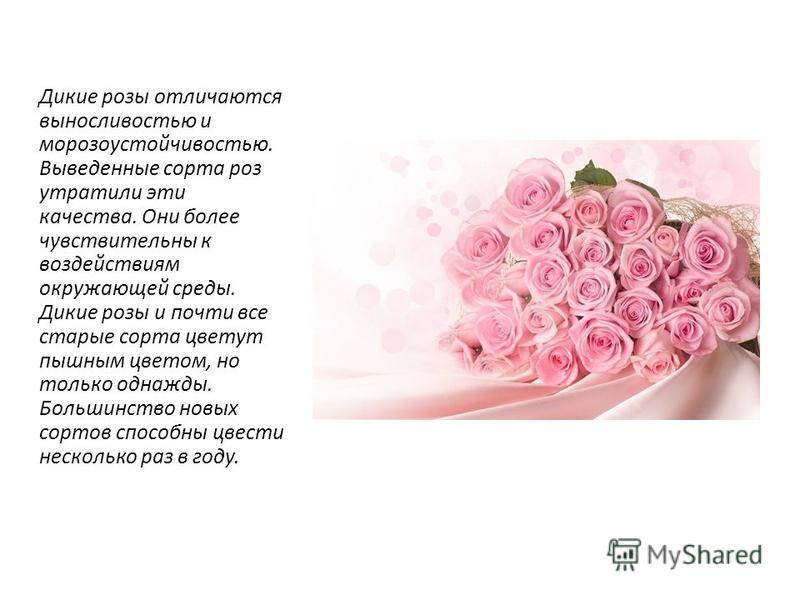 Дикие розы отличаются выносливостью и морозоустойчивостью. Выведенные сорта роз утратили эти качества. Они более чувствительны к воздействиям окружающей среды. Дикие розы и почти все старые сорта цветут пышным цветом, но только однажды. Большинство н