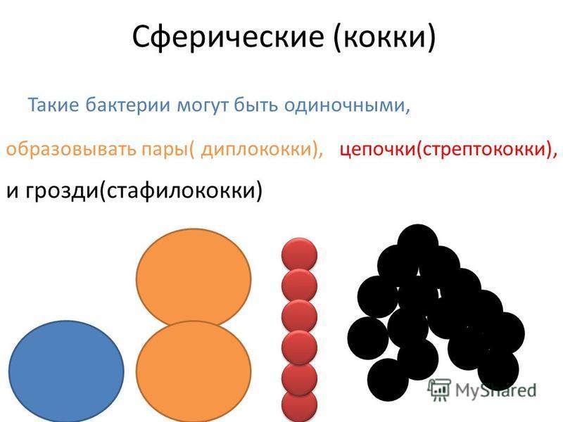 Сферические (кокки) Такие бактерии могут быть одиночными, образовывать пары( диплококки),цепочки(стрептококки), и грозди(стафилококки)