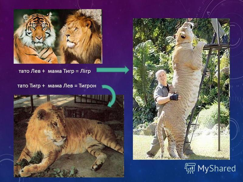 тато Лев + мама Тигр = Лігр тато Тигр + мама Лев = Тигрон