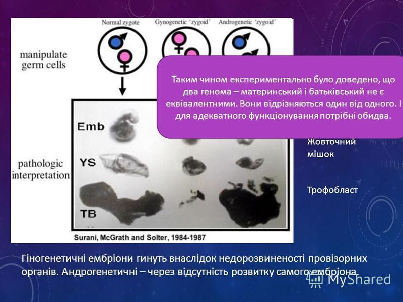 Гіногенетичні ембріони гинуть внаслідок недорозвиненості провізорних органів. Андрогенетичні – через відсутність розвитку самого ембріона. Ембріон Жовточний мішок Трофобласт Таким чином експериментально було доведено, що два генома – материнський і б