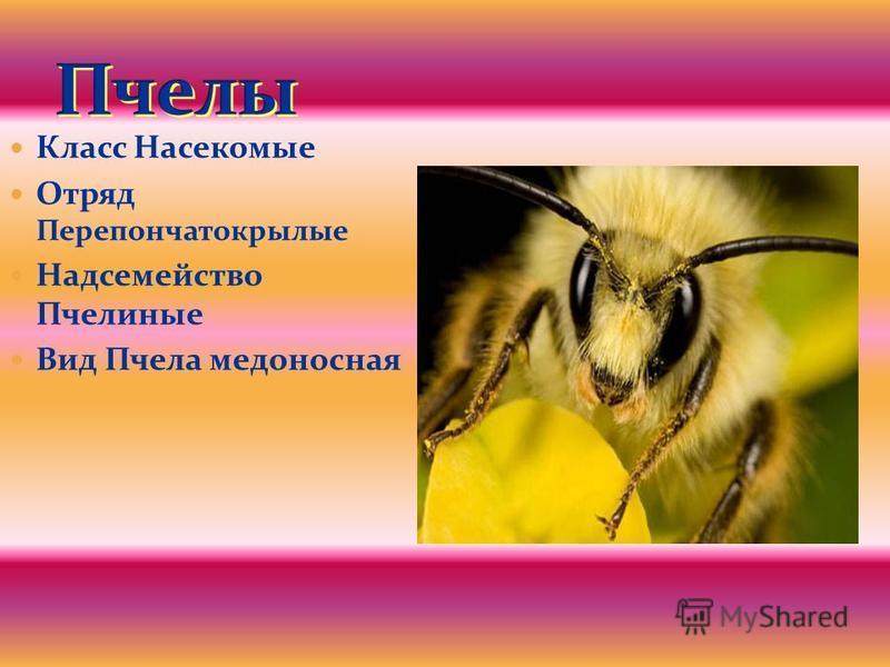Класс Насекомые Отряд Перепончатокрылые Надсемейство Пчелиные Вид Пчела медоносная