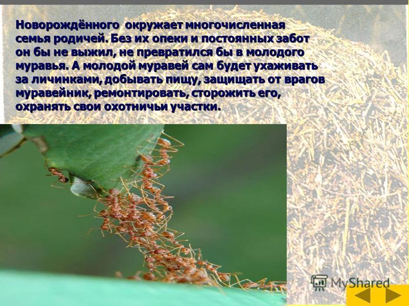 Муравьиная семья Муравьи живут сплоченной семьей. Начало новому муравейнику даёт самка-основательница. Одно из самых главных дел в муравьиной семье– Одно из самых главных дел в муравьиной семье– забота о потомстве. Муравьи ухаживают за самкой: кормят