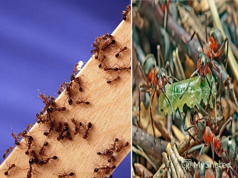 Муравьи – защитники леса. Муравьи защищают лес от всяких вредных насекомых - листоедов, короедов … Вред от многочисленных вредителей леса бывают такой, что можно сравнить его только с лесным пожаром. С весны до осени трудятся муравьи, стаскивая в С в