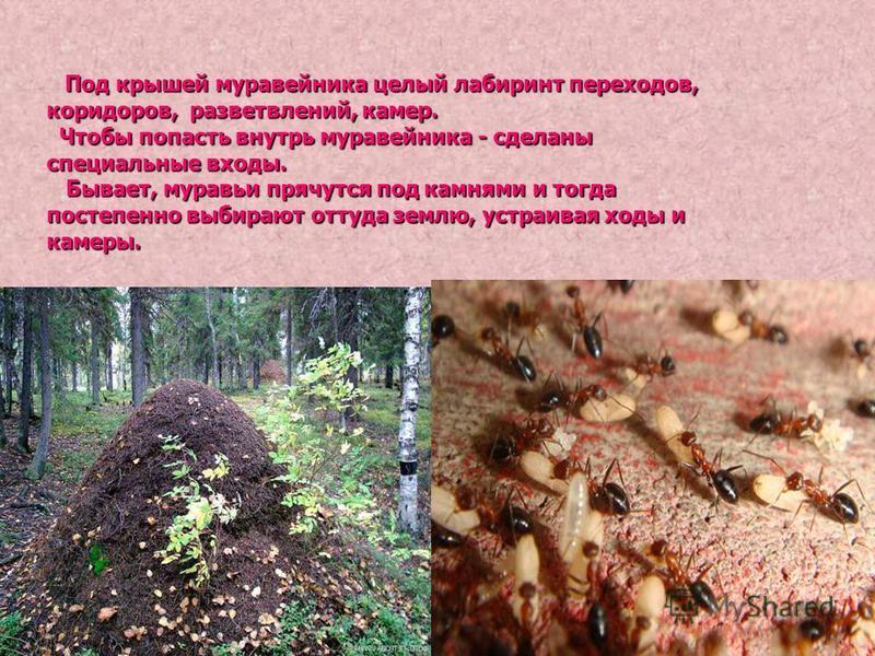 В лесу на опушках, в полях, на лугу, на берегу реки, у деревьев, - везде–везде можно встретить муравейник. Они бывают в саду, на школьном участке и даже в городе на каком-нибудь газоне. В лесу на опушках, в полях, на лугу, на берегу реки, у деревьев,