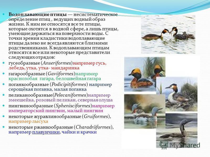 Водоплавающие птицы несистематическое определение птиц, ведущих водный образ жизни. К ним не относятся все те птицы, которые охотятся в водной сфере, а лишь птицы, умеющие держаться на поверхности воды. С точки зрения клади стихи водоплавающие птицы