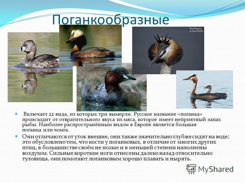 Поганкообразные Включает 22 вида, из которых три вымерли. Русское название «поганка» происходит от отвратительного вкуса их мяса, которое имеет неприятный запах рыбы. Наиболее распространённым видом в Европе является большая поганка или чомга. Они от