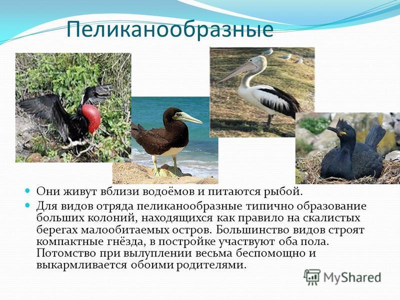 Пеликанообразные Они живут вблизи водоёмов и питаются рыбой. Для видов отряда пеликанообразные типично образование больших колоний, находящихся как правило на скалистых берегах малообитаемых остров. Большинство видов строят компактные гнёзда, в постр