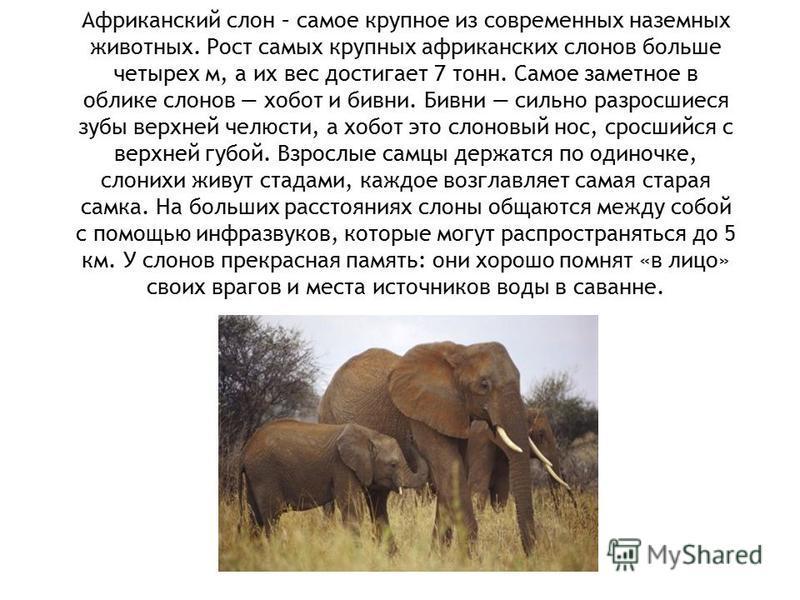 Африканский слон – самое крупное из современных наземных животных. Рост самых крупных африканских слонов больше четырех м, а их вес достигает 7 тонн. Самое заметное в облике слонов хобот и бивни. Бивни сильно разросшиеся зубы верхней челюсти, а хобот