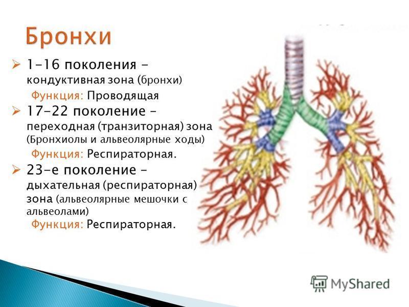 1-16 поколения - кондуктивная зона ( бронхи) Функция: Проводящая 17-22 поколение – переходная (транзиторная) зона (Бронхиолы и альвеолярные ходы) Функция: Респираторная. 23-е поколение – дыхательная (респираторная) зона (альвеолярные мешочки с альвео