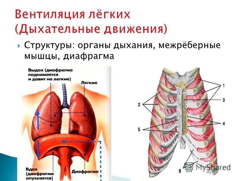 Структуры: органы дыхания, межрёберные мышцы, диафрагма