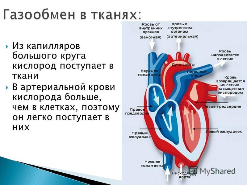 Из капилляров большого круга кислород поступает в ткани В артериальной крови кислорода больше, чем в клетках, поэтому он легко поступает в них