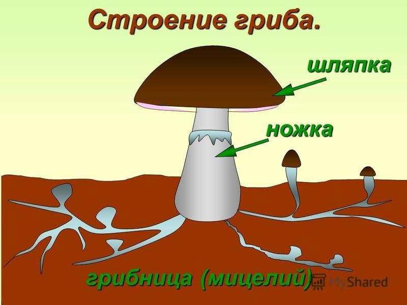 шляпка грибница (мицелий) ножка Строение гриба.