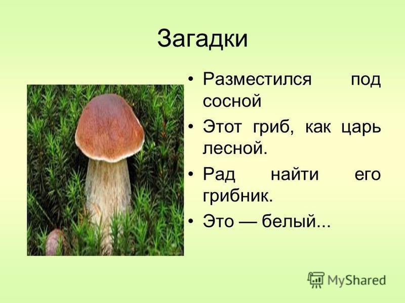 Загадки Разместился под сосной Этот гриб, как царь лесной. Рад найти его грибник. Это белый...