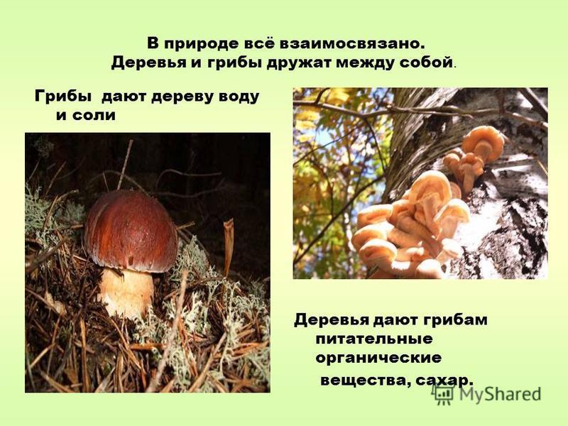 В природе всё взаимосвязано. Деревья и грибы дружат между собой. Грибы дают дереву воду и соли Деревья дают грибам питательные органические вещества, сахар.