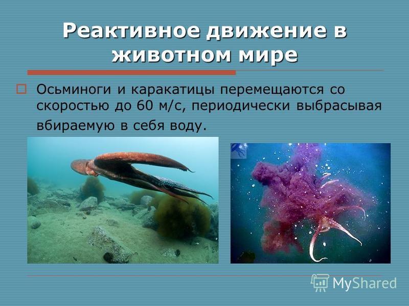 Реактивное движение в животном мире Осьминоги и каракатицы перемещаются со скоростью до 60 м/с, периодически выбрасывая вбираемую в себя воду.