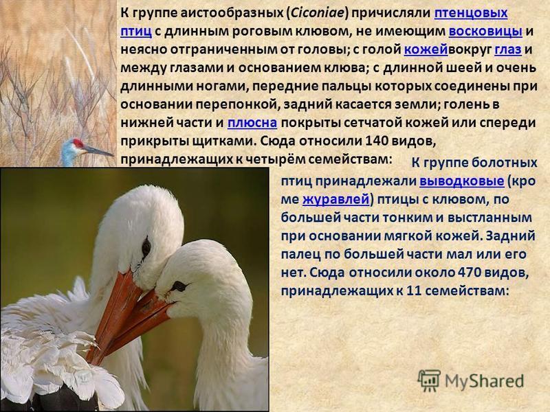 К группе аистообразных (Ciconiae) причисляли птенцовых птиц c длинным роговым клювом, не имеющим восковицы и неясно отграниченным от головы; с голой кожей вокруг глаз и между глазами и основанием клюва; с длинной шеей и очень длинными ногами, передни