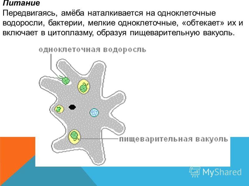 Питание Передвигаясь, амёба наталкивается на одноклеточные водоросли, бактерии, мелкие одноклеточные, «обтекает» их и включает в цитоплазму, образуя пищеварительную вакуоль.